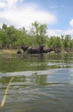 Le bétail s'abreuve