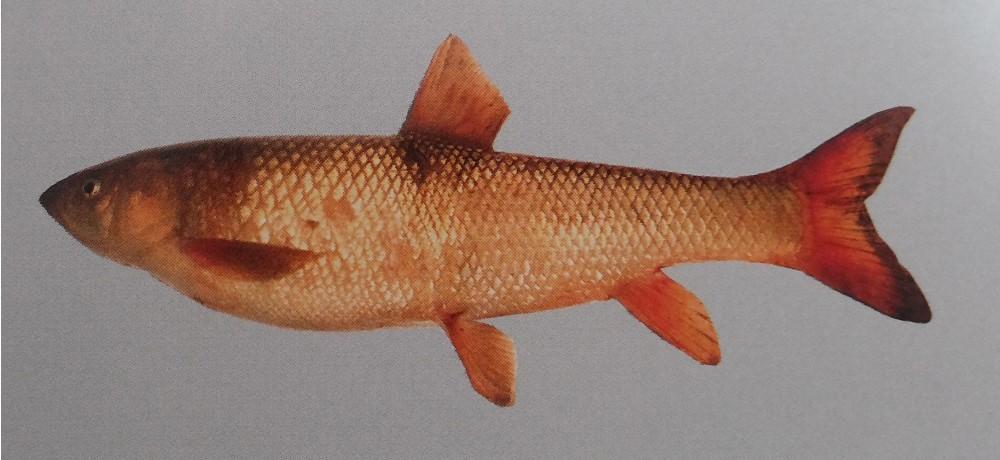 Սևանի կողակ_Varicorhinus capoeta sevangi