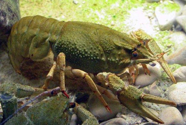 astacus_leptodactylus-2